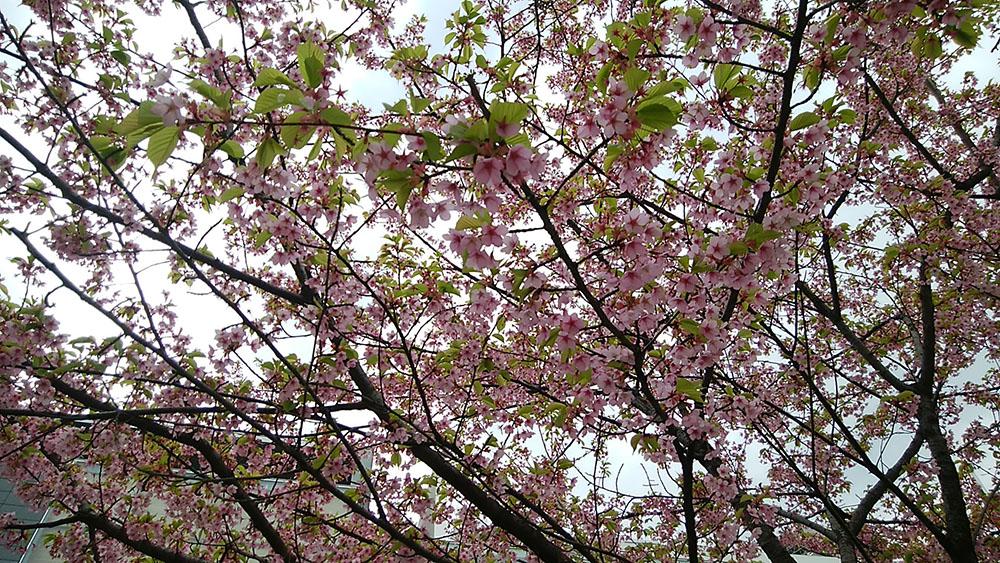 散る桜 残る桜も 散る桜(良寛)